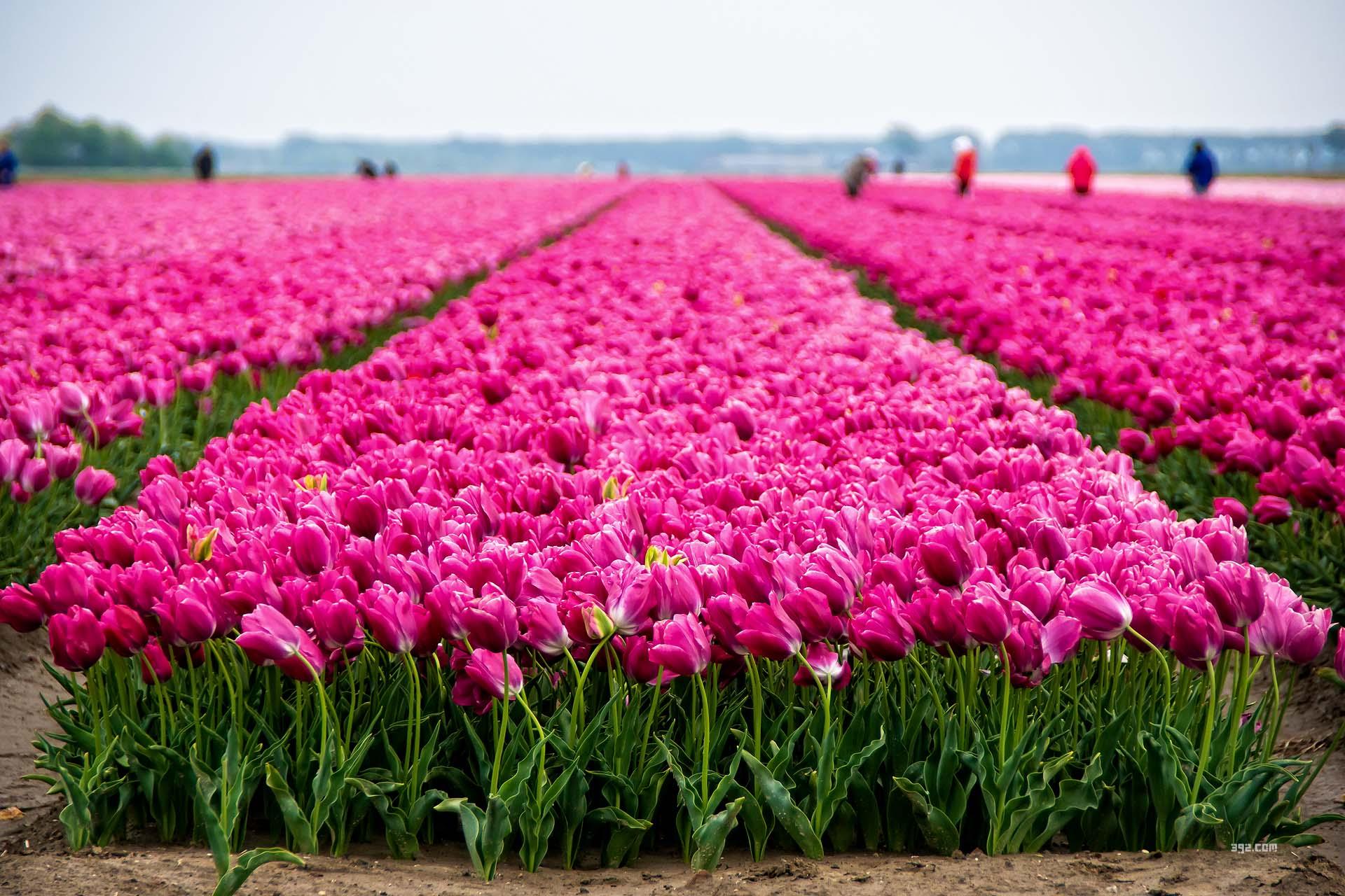Tulpen Goeree-Overflakkee